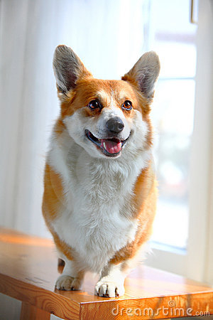 Free Corgi Dog Royalty Free Stock Photo - 4672345