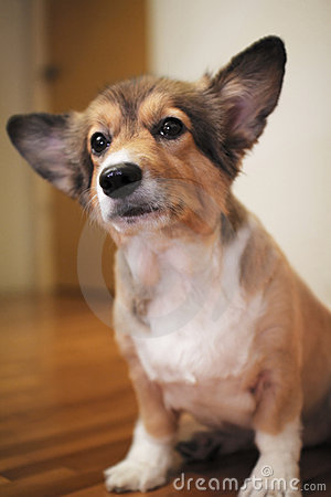 Corgi dog alert