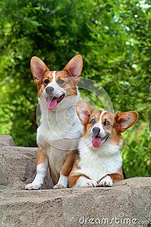 Free Corgi Dogs Stock Photo - 19209750