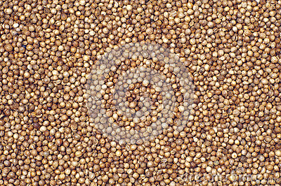 Coriander grains
