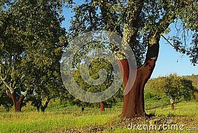 Cork oak 04