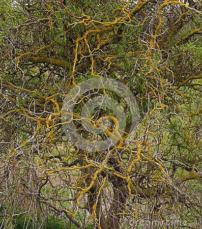 Free Corkscrew Twisted Willow Orange Lichens On Branches Stock Photography - 40151312