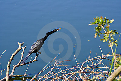 Cormorant bird on branch