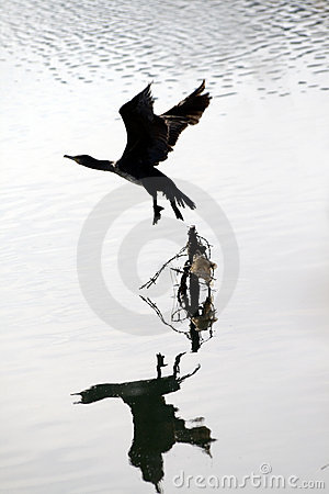 Cormorant begin his fly