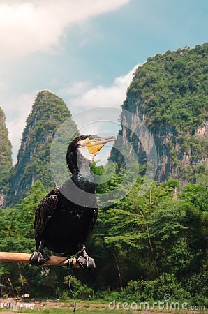Free Cormorant Bird Perched On A Pole In Guilin`s Lijiang River Stock Photo - 132846160