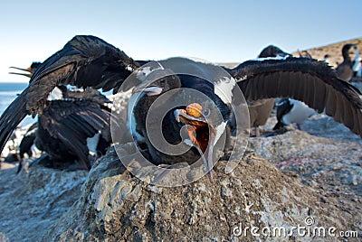 Cormorant Defending a Hatchling