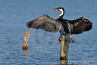 Cormorant dries wings