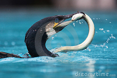 Cormorant with an eal in its beak