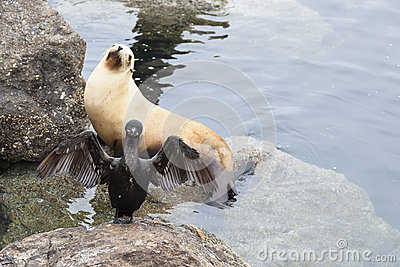 A Cormorant extends its wings in front of a Sea Lion in californ