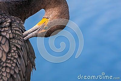 Cormorant Preening