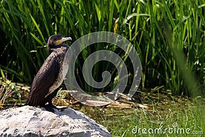 Cormorant resting