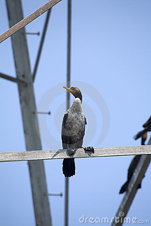 Cormorant Sea Bird
