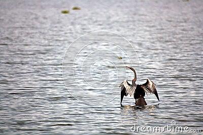Cormorant Seabird at Vembanad Lake Bird Sanctuary