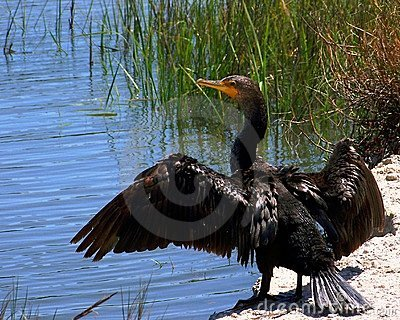 Cormorant with Wings Open