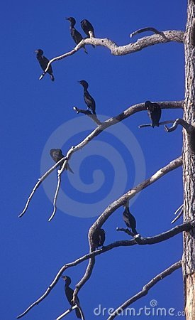 Cormorants in a Tree