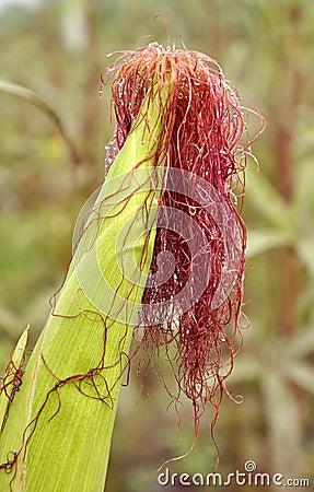 Free Corn Royalty Free Stock Photography - 16924747