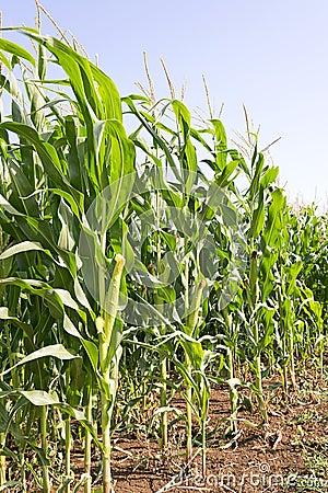 Free Corn Stock Image - 25626801