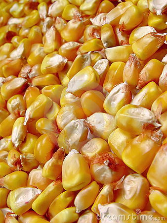 Free Corn Royalty Free Stock Photography - 323357