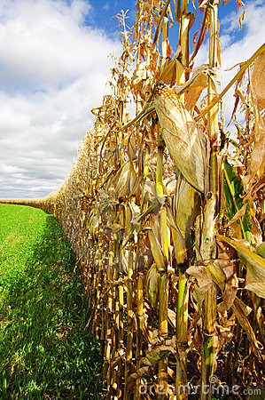 Free Corn Before Harvest Royalty Free Stock Photos - 16212318