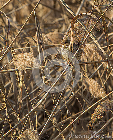 Free Corn Bunting Camouflaged In Reed Royalty Free Stock Image - 37388136