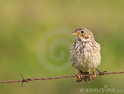A Corn Bunting on the wire