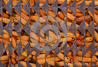 Corn in cage