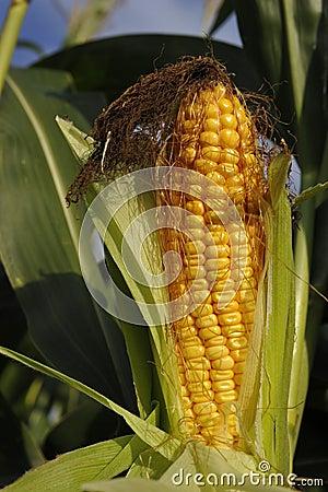 Free Corn Cob Stock Photo - 16022750
