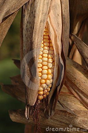 Corn cob in autumn