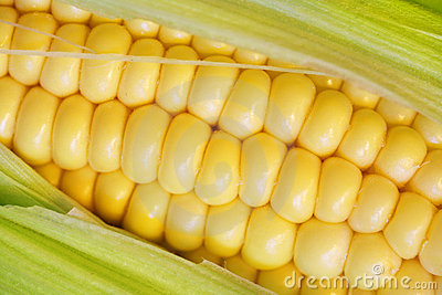 Corn cob closeup