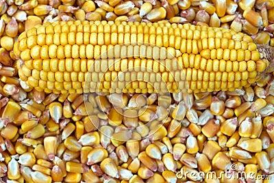 Corn Cob and corn kernel
