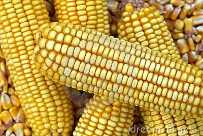 Corn Cob and corn kernel