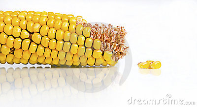 Corn Cob And Kernels On White