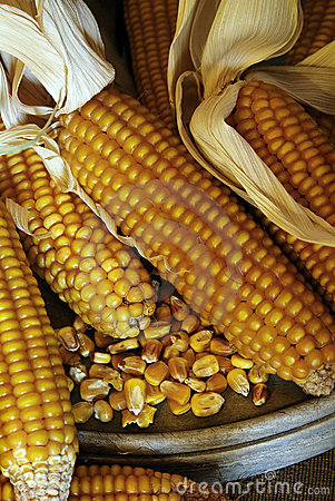 Corn cobs - grain maize