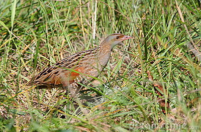 Corn crake on green grass