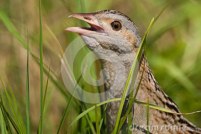 Corn crake portrait