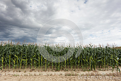 Corn crop with dramatic sky