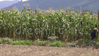 Corn, Crops, Rows Of Corn, Stalks Stock Video - Video ...