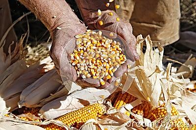 Corn in Farmer s Hands