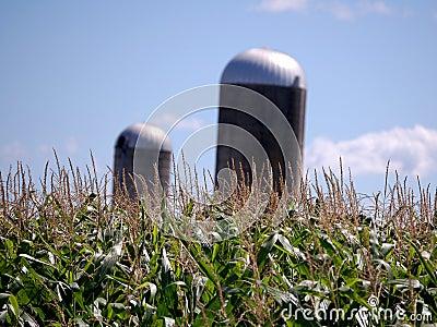 Corn Feild with two Silos