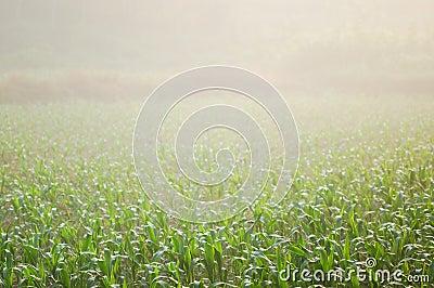 Corn field 12
