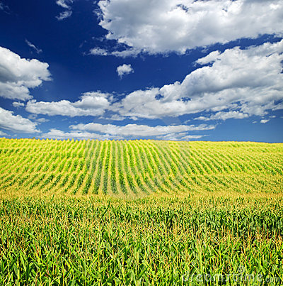Free Corn Field Royalty Free Stock Photography - 12612747