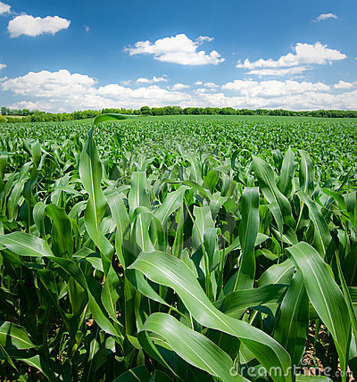 Free Corn Field Royalty Free Stock Photos - 13744618