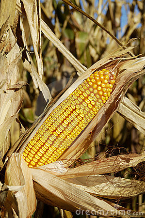 Corn in the Field 2