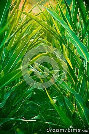 Free Corn Field Stock Image - 2897781
