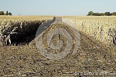 Corn field 4