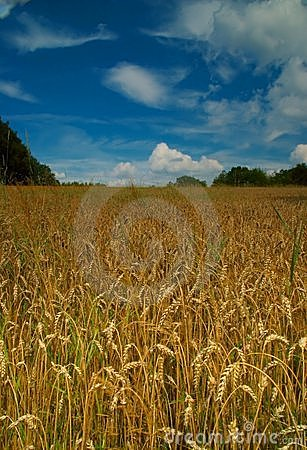 Free Corn Field And Blue Sky Stock Images - 1060374
