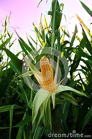 Corn in field, corncob