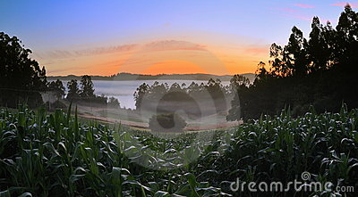 Corn field at dawn