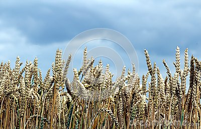 Corn Field in front of a cloudy sky  horizontal
