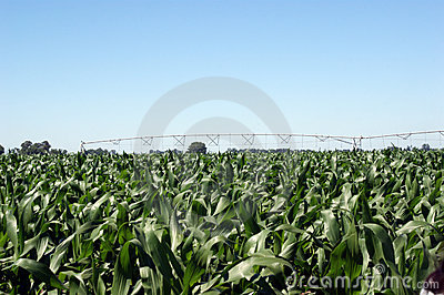 A corn field with irrigation system